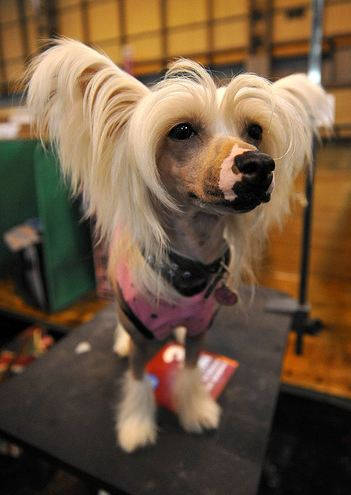 A Chinese Crested Dog - This image is copyright onEdition 2011